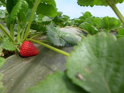 Strawberry picking time!