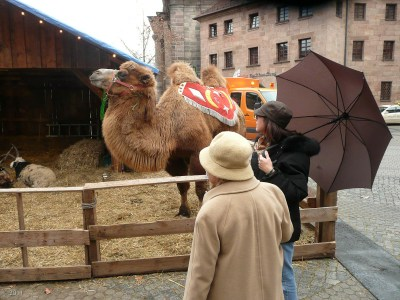 Going to the Christmas Market, we run into a camel!