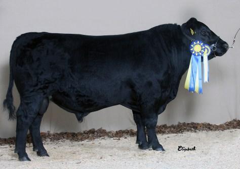 Angus Champion Elmia 2013 Rafnatyr