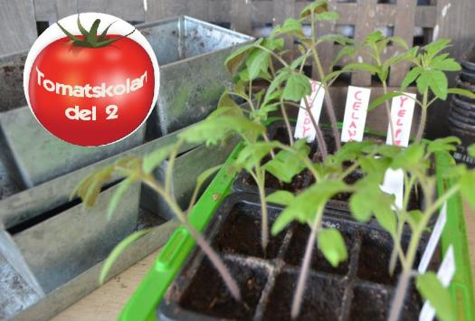 Rangliga tomatplantor i tråg