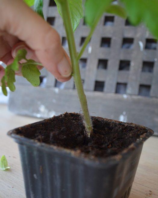 Skola om tomatplantor