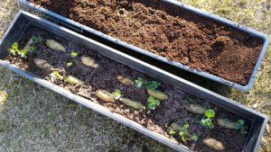 Kupa groddad potatis i blomlåda