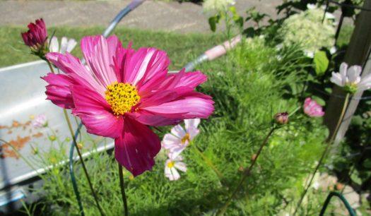 Odla rosenskära