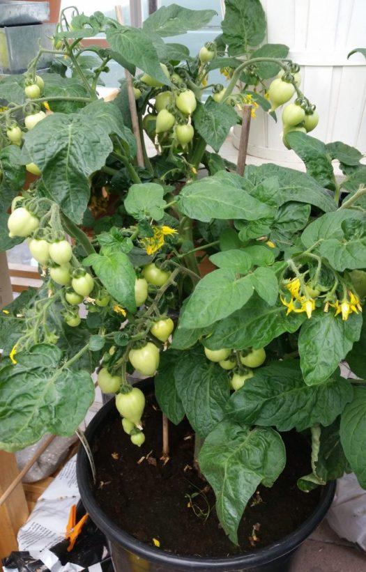 Maximera tomatskörden