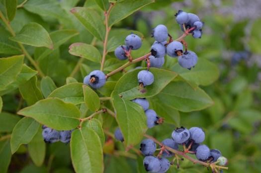 Blåbär i trädgården