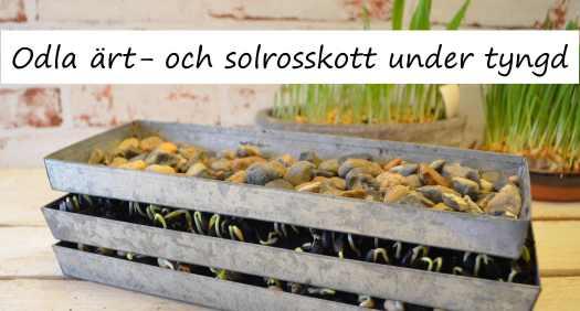 odla solrosskott och ärtskott