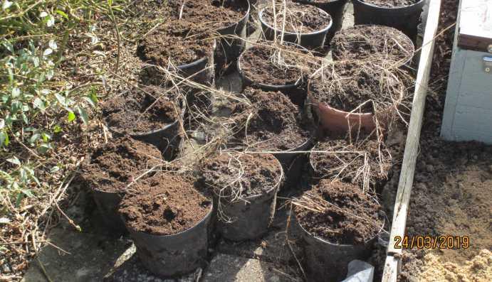 Plantera krukodlad sparris
