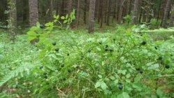 Bara Sverige svenska blåbär har