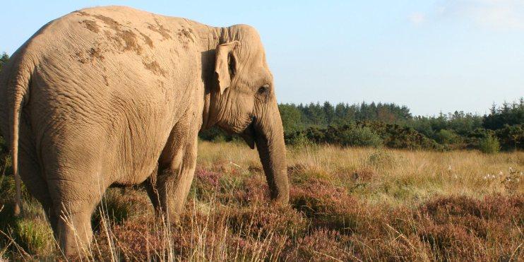 Valli the Temple Elephant grazing in a field at Skanda Vale multi faith ashram in Wales.