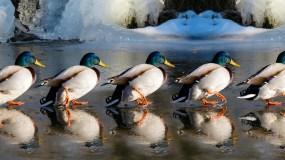 Hinten sind die Enten fett