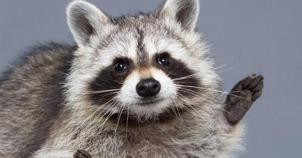 Ajax Wildlife Control: City Raccoons Smarter than You Think