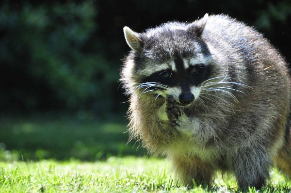 Raccoon Removal and Prevention for Houston Rental Property