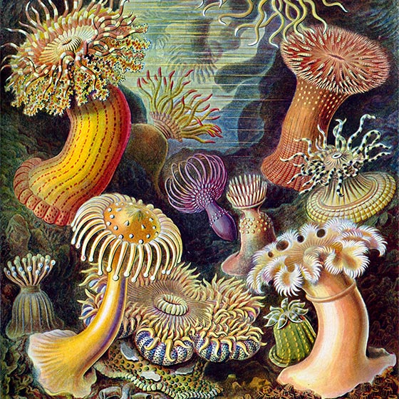 Kunstformen der Natur (1904), plate/planche 49: Actiniae, by Ernst Haeckel (1834–1919) [PUBLIC DOMAIN] The author of this work died in 1919. This work is in the public domain in its country of origin and other countries and areas where the copyright term is the author's life plus 95 years or less.