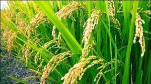 Rice stalks.