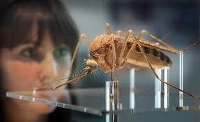 giant-mosquito