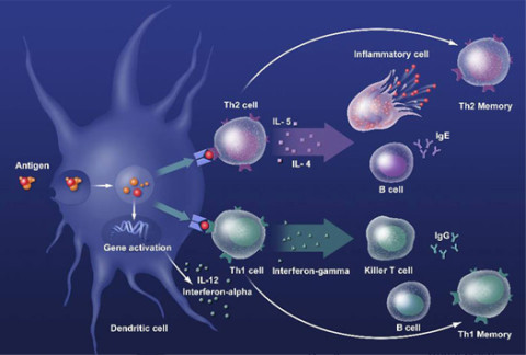 memory-t-cell