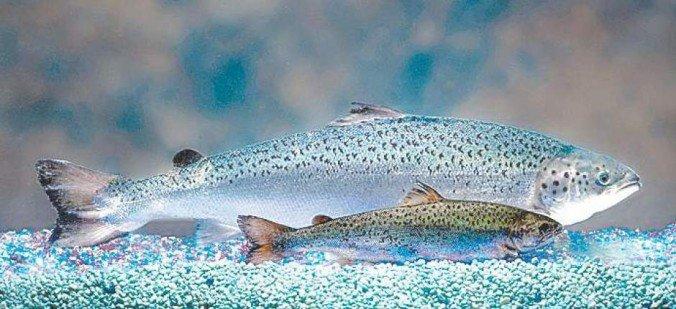 AquAdvantage GMO salmon
