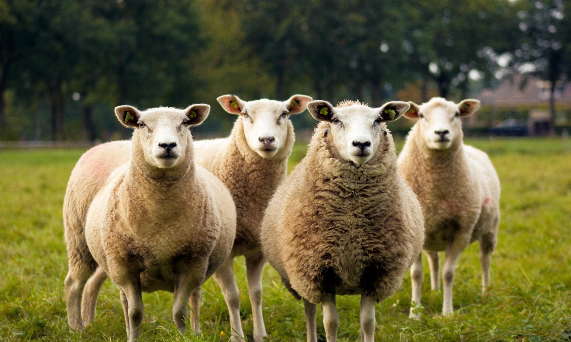 sheep vaccine study