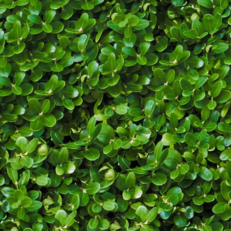 Green Hedge Bamboo
