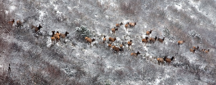 Elk at Cozy Point near Snowmass   Photo: Aspen/Snowmass, Jeremy Swanson
