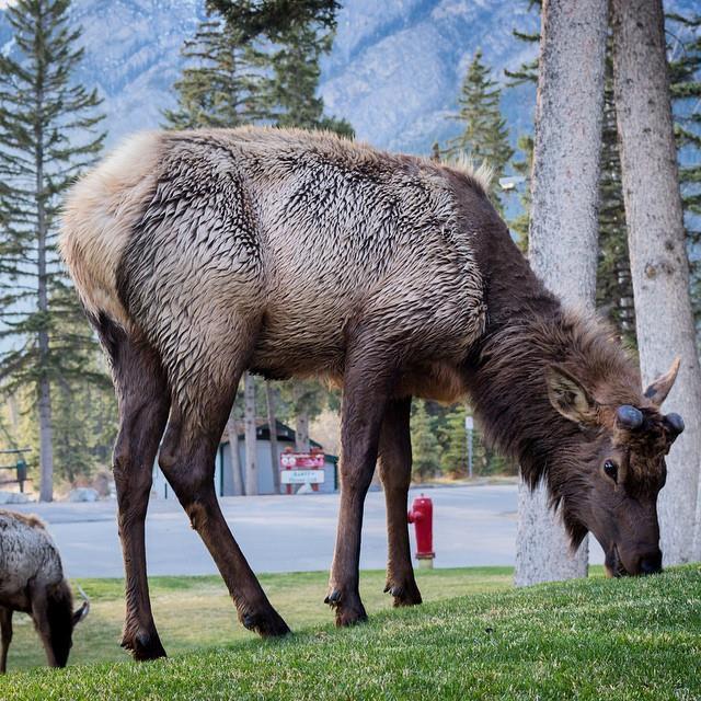 Banff Lake Louise elk