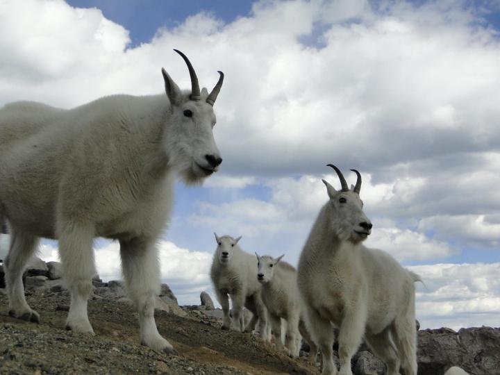 Colorado wildlife mountain goats