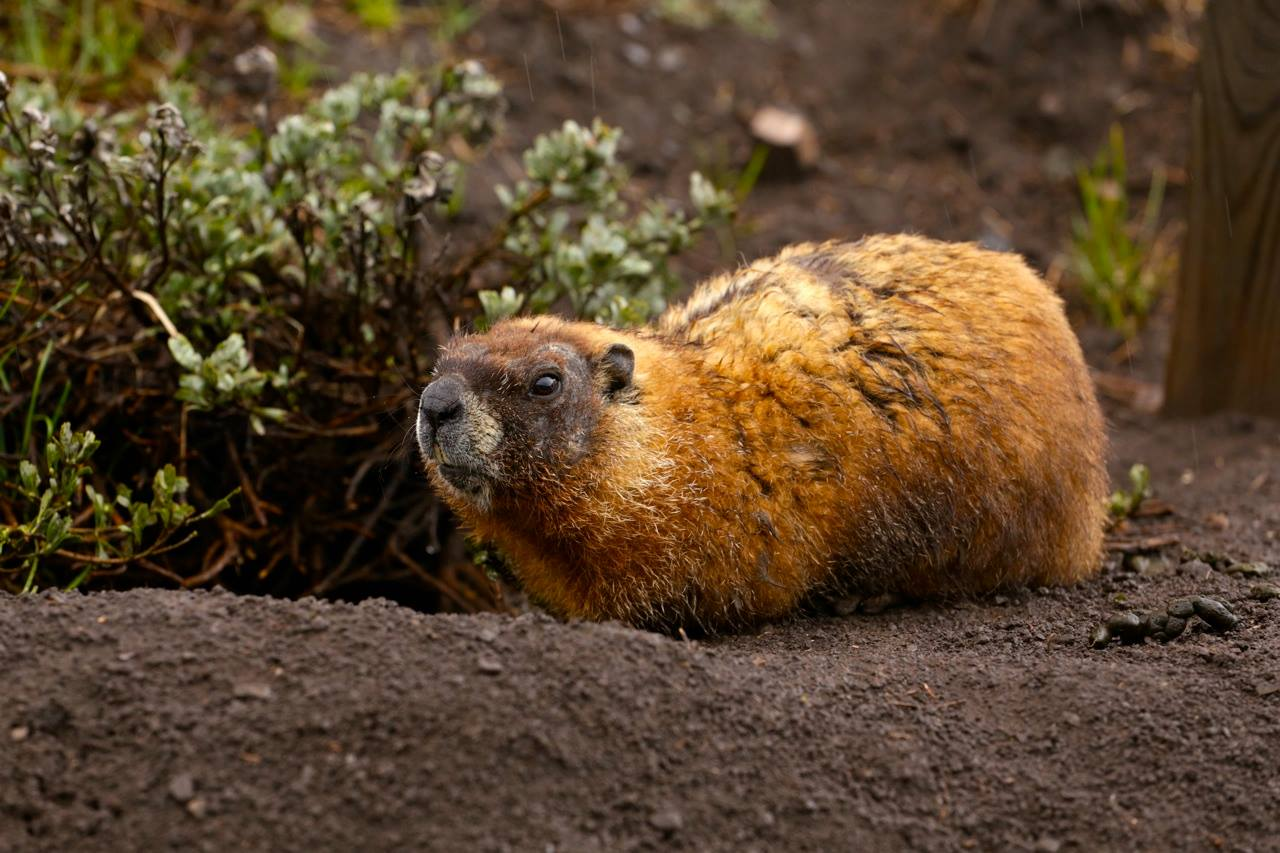 Crested Butte marmot