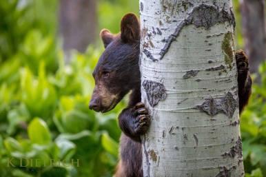 Steamboat Resort wildlife black bear