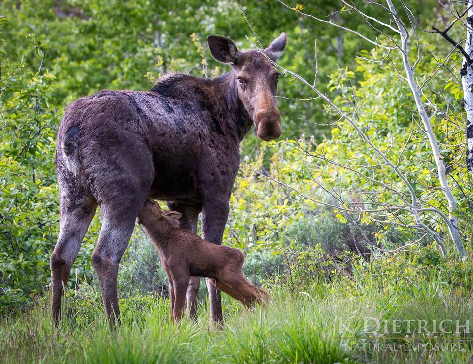 Steamboat Resort mother moose and calf