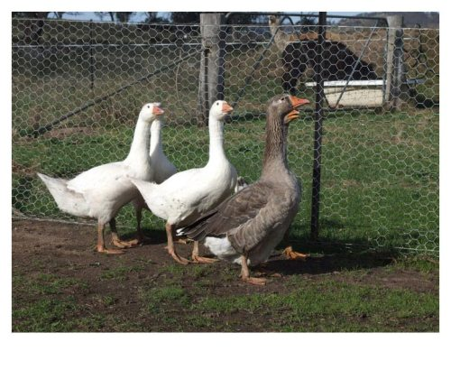 ducks on farm