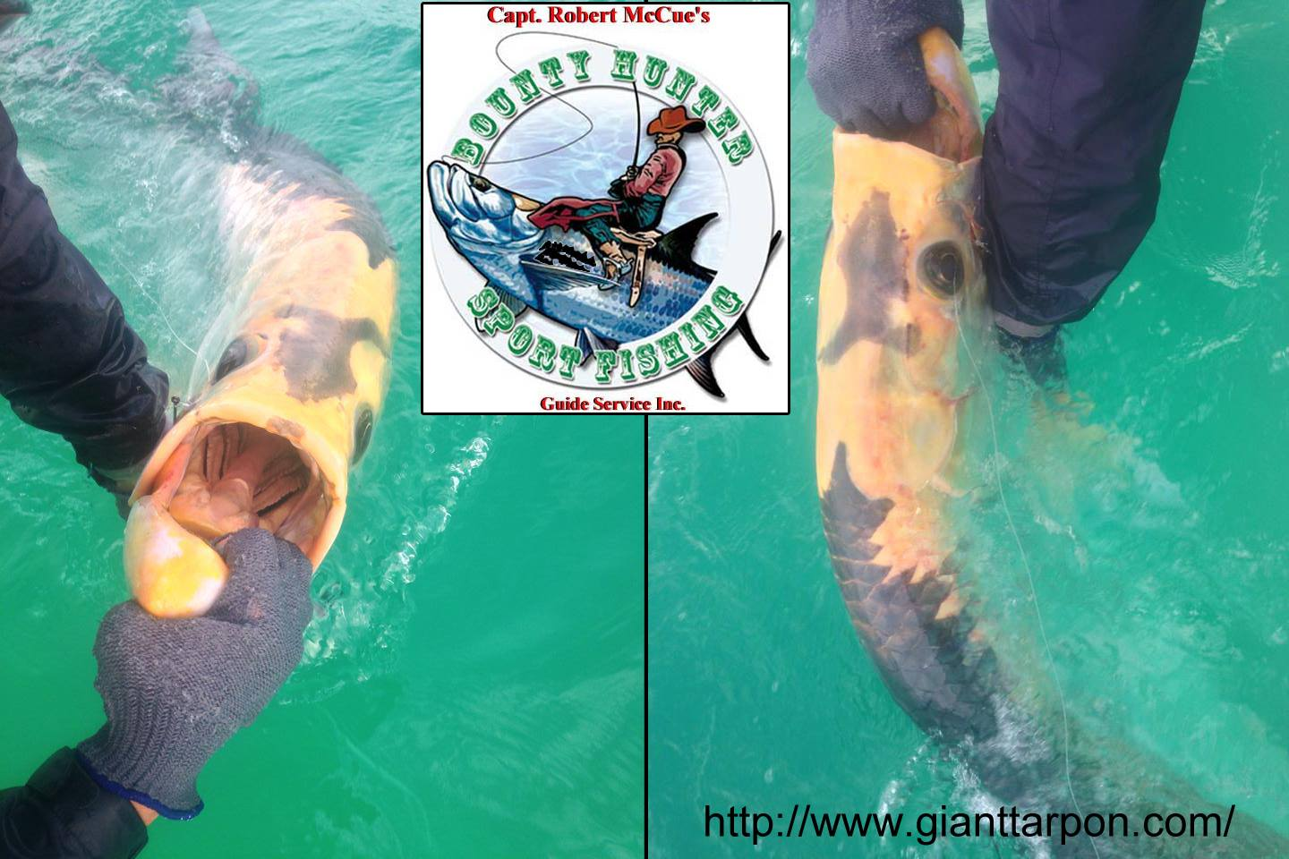 Wow! You don't see this everyday! Robert McCue got colleague & fill in deckhand Clark Wright on this piebald (albino with some pigmentation) tarpon this AM off Tampa Bay. Great job, guys! Check out Robert and Clark at: http://gianttarpon.com/