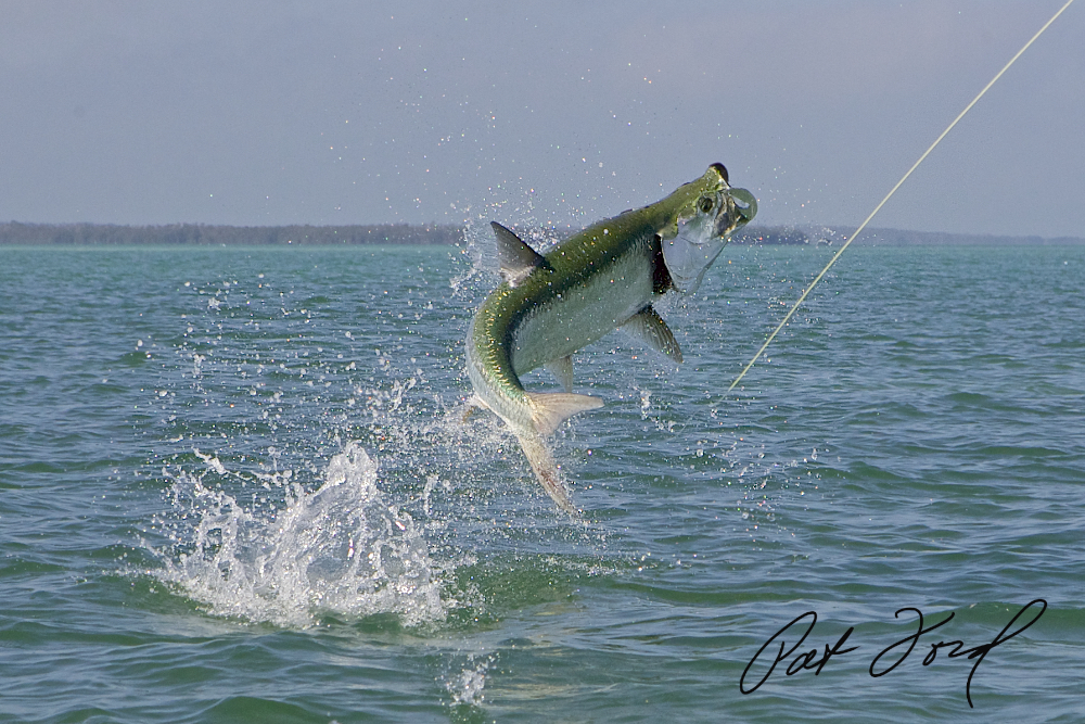 Tarpon fishing with pat ford for Tarpon fish pictures