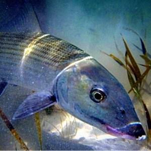 Bonefish ️                    …