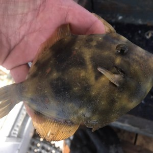 Caught a few small fish in crab pots Not as many as usual been a weird year… T…