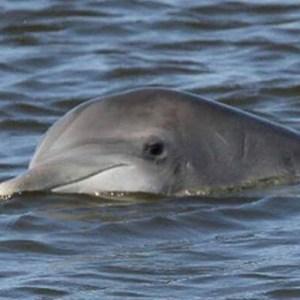 Cedar Key Dolphins