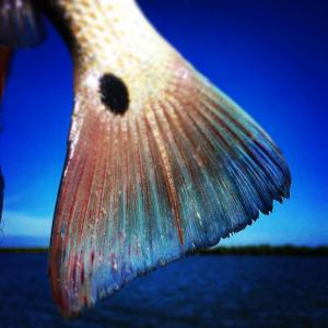 Redfish. Dreaming of blue tails