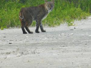 Big cat out for a stroll