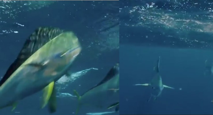 flying fish mahi chase