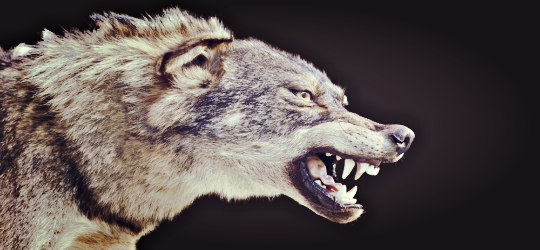 angry wolf barring teeth