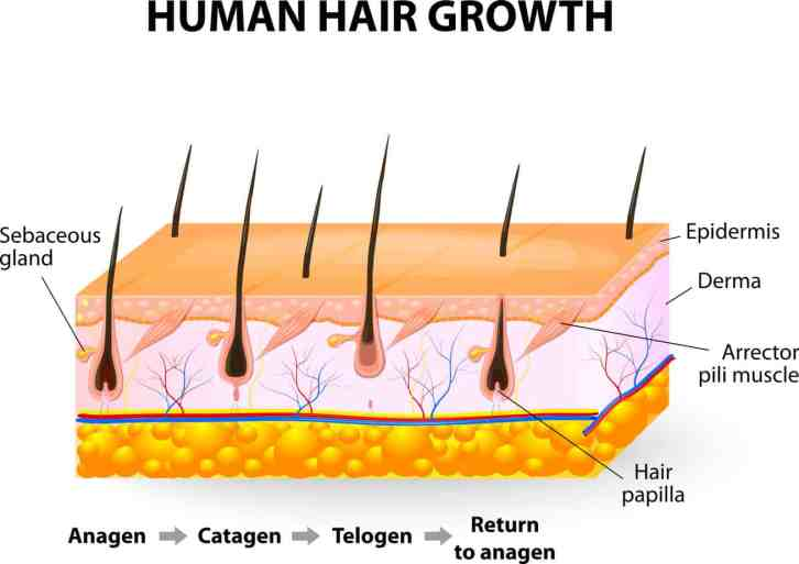 Haarfasen, anagene fase, groeifase, katagene fase, regressiefase, telogene fase, rustfase, haarcyclus, alopecia areata, haaruitval na zwangerschap, telogeen effluvium