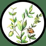 Organic Jojoba Oil as Ingredient in Organic Body Lotions