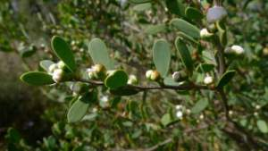 Tea Tree Oil for Genital, Facial and Flat Warts