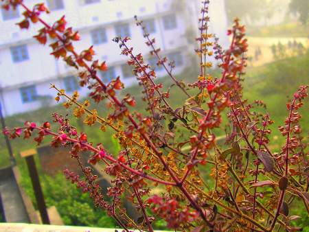 tulsi to treat acne and acne scars