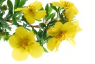 evening primrose, teunisbloem