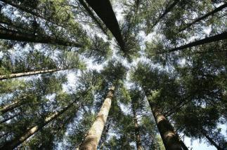 sib pine trees