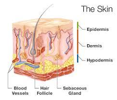 Skin Layers Epidermis and Hypodermis