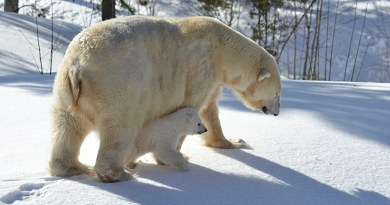 Isbjørneunge på opdagelse med sin mor