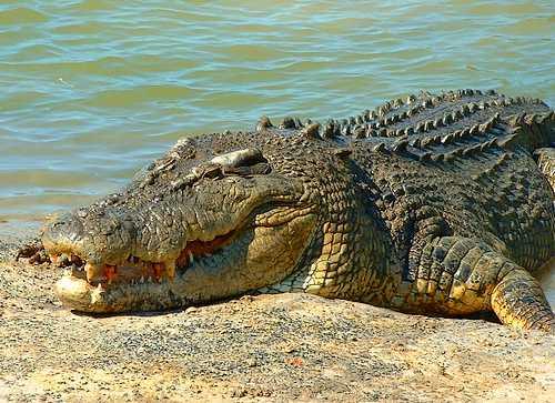 australia crocodile