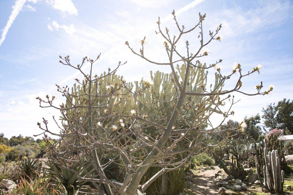 desert cactus south coast botanical garden