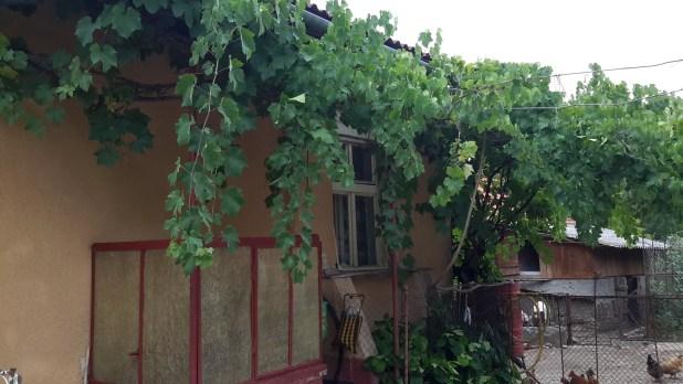 Grapes on Farm